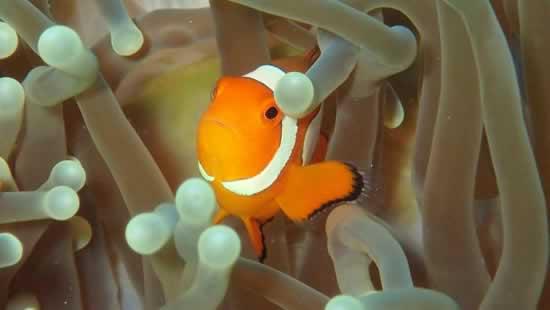 Pesce Nemo